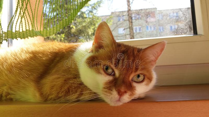 Lazy resting redhead cat on the windowsill. Head eye, ears, hair, whiskers, body. Beautiful funny picture art of cat for wallpaper postcard and newspaper royalty free stock image