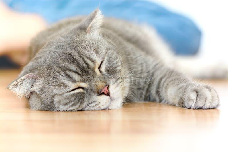 Lazy scottish fold cat. Look cute royalty free stock image