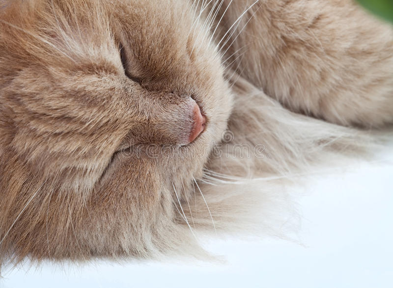 Download Lazy Sleeping Persian Cat Stock Images - Image: 20884184