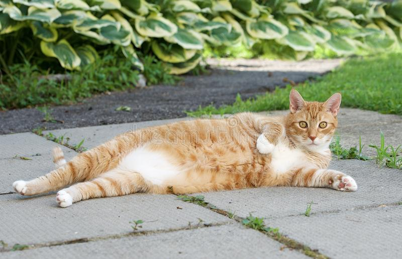 Lazy sleepy cat resting on day time, resting cat. Fat cat royalty free stock photos