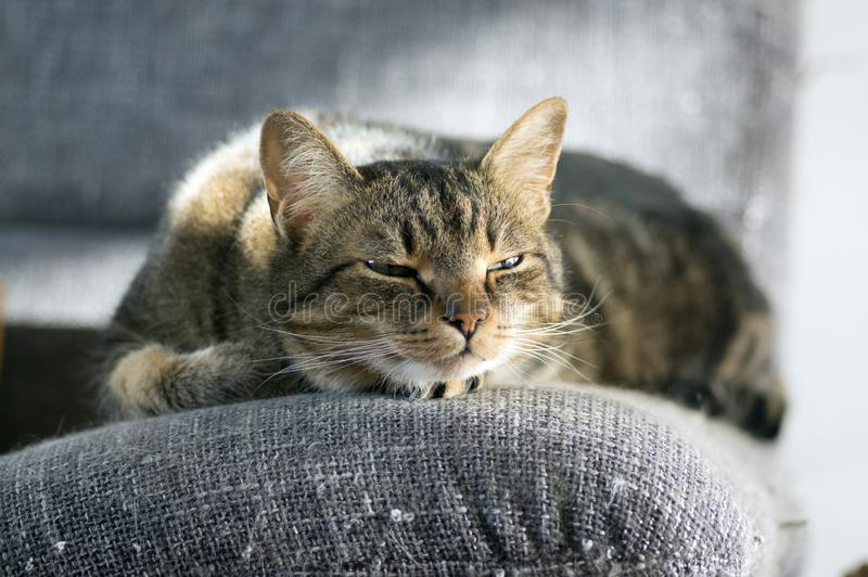 Lazy sleepy marble striped cat, portrait of boring domestic tabby lies on grey sofa. In sunlight royalty free stock images