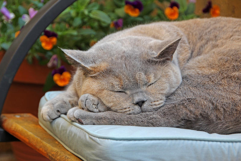 Lazy summer cat. Photo of a lazy summer pedigree british shorthair cat having a snooze on her favourite cushion stock photo