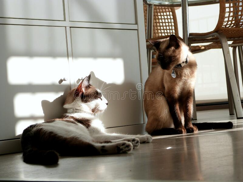 Download Lazy sunday stock photo. Image of animal, point, siamese - 84980546