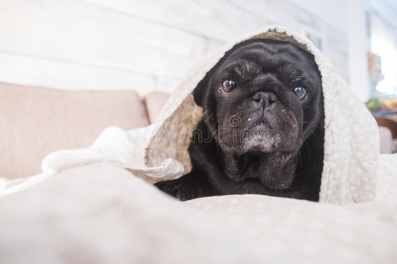 Lazy and tender sweet pug pet dog royalty free stock image