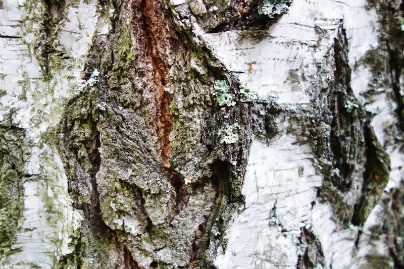 Ld birch tree bark background stock photo
