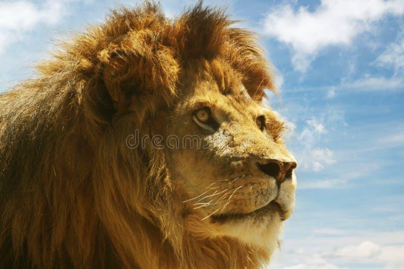 Download Leão foto de stock. Imagem de bonito, feline, leão, olhar - 19521024