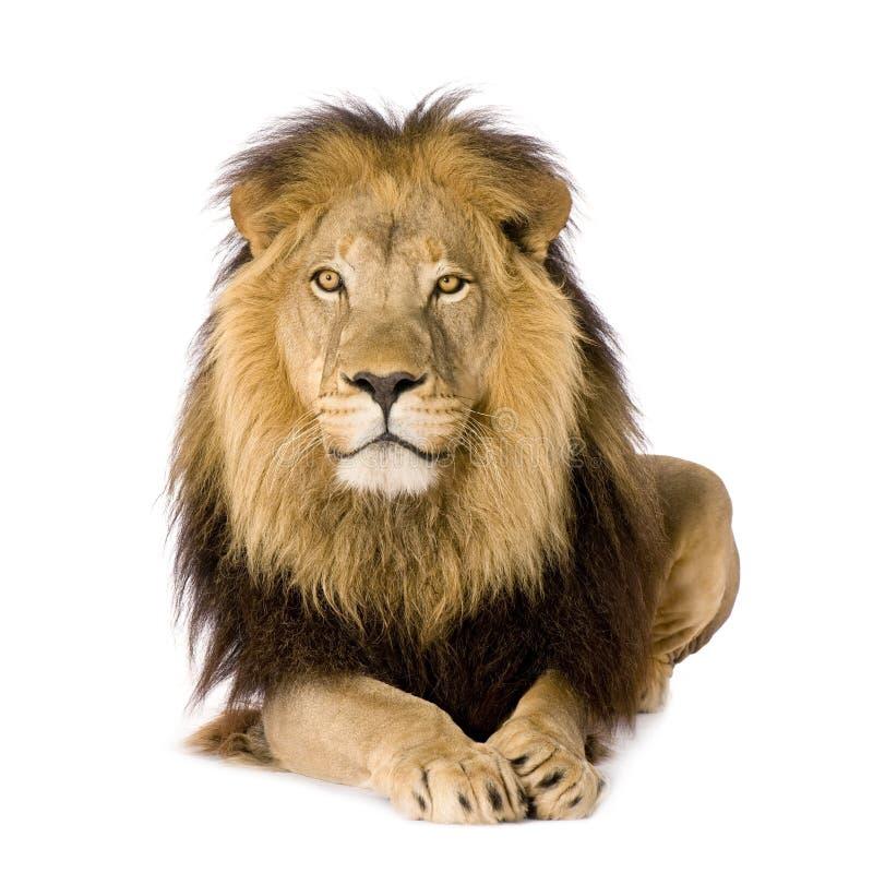 Leão (4 e uma metade dos anos) - Panthera leo imagens de stock