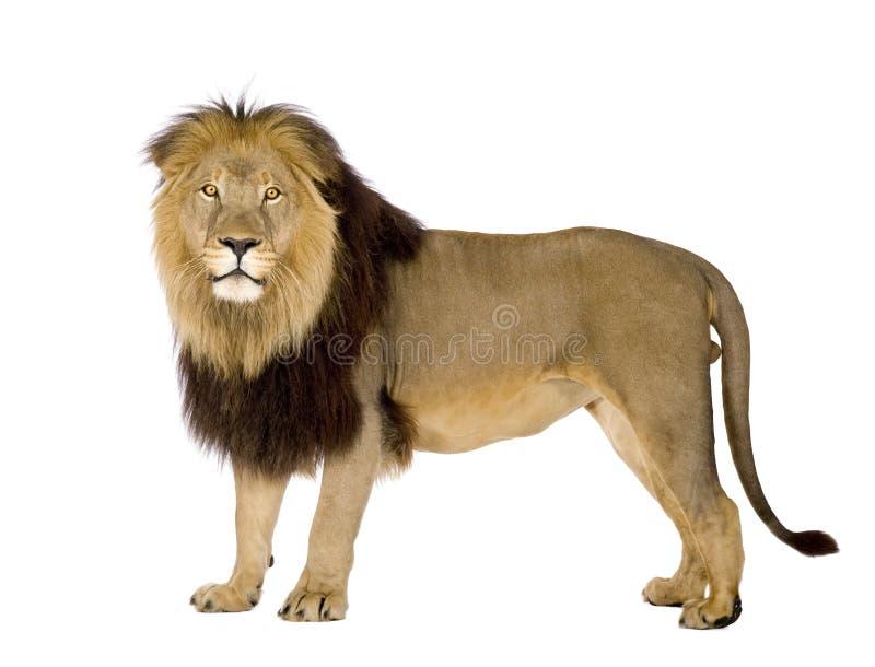 Leão (4 e uma metade dos anos) - Panthera leo fotografia de stock