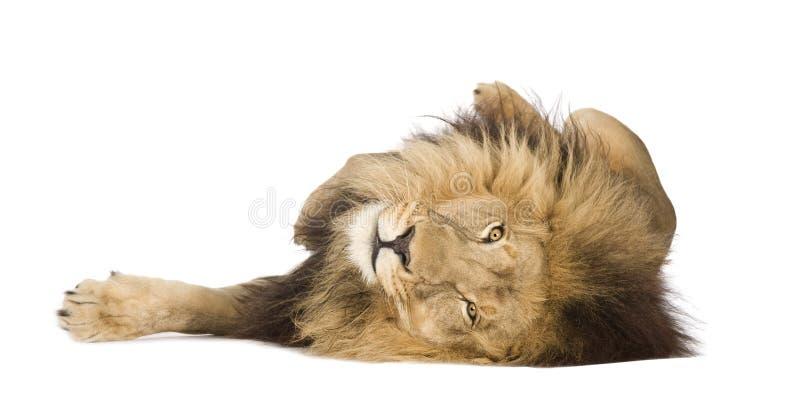 Leão (4 e uma metade dos anos) - Panthera leo imagem de stock