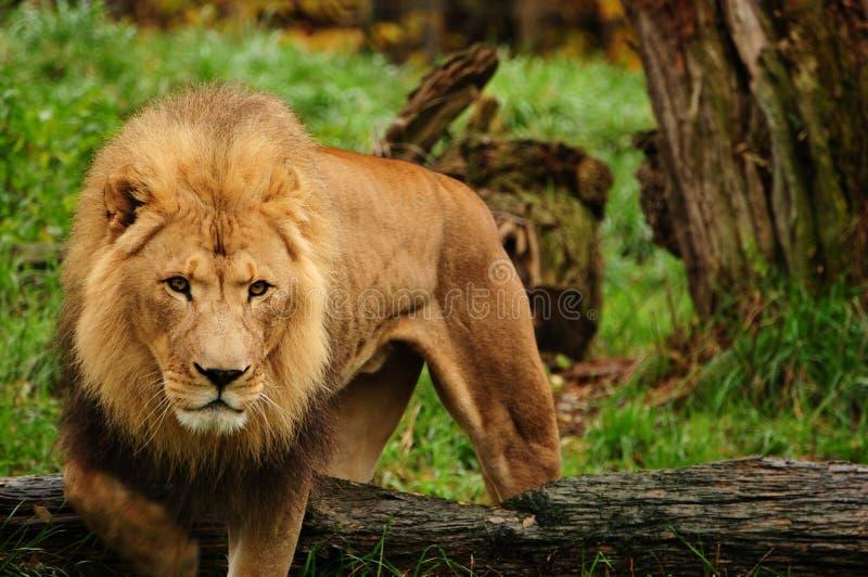 Leão africano imagens de stock royalty free