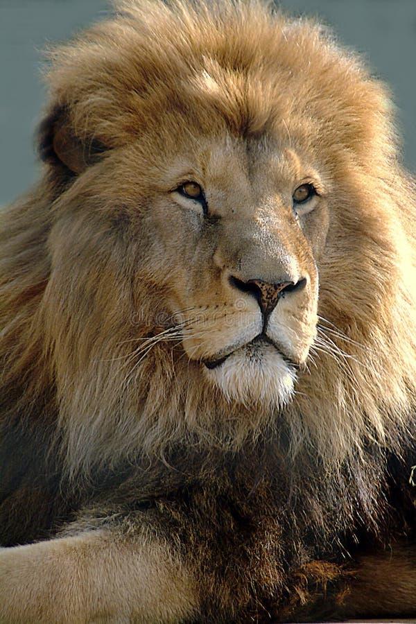 Leão africano foto de stock