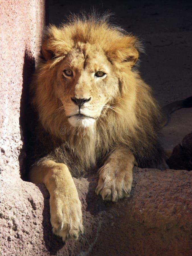 Leão africano foto de stock royalty free