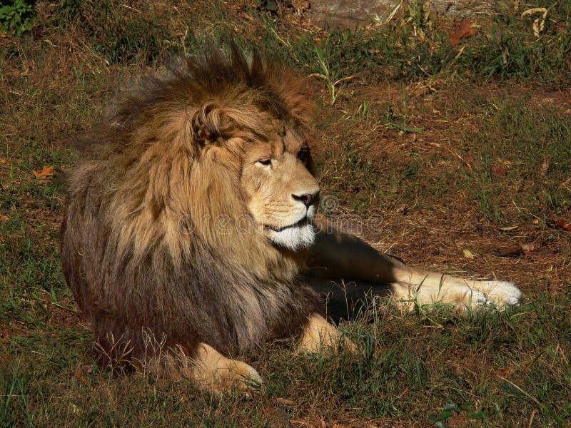 Leão africano em repouso imagem de stock