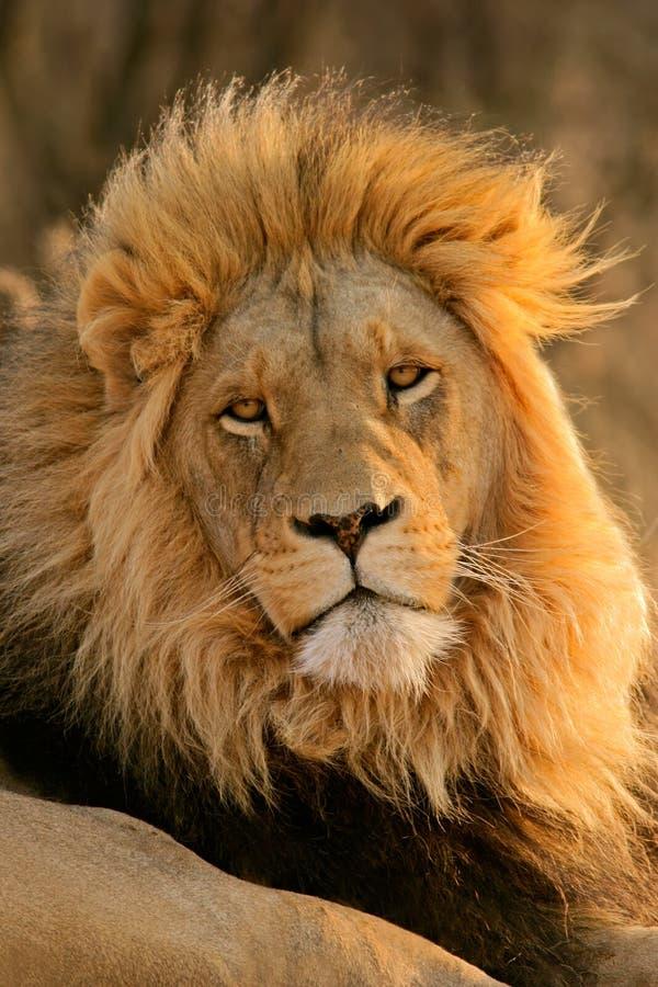 Leão africano masculino grande imagem de stock