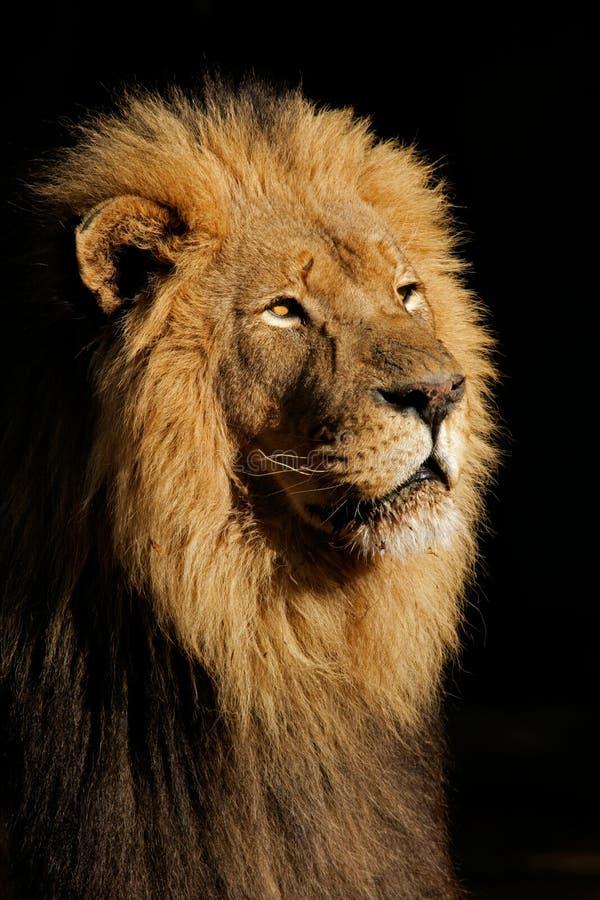 Leão africano masculino grande foto de stock