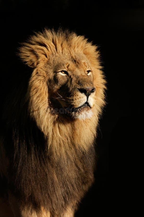 Leão africano masculino grande foto de stock royalty free