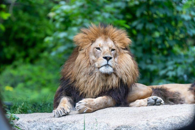 Leão africano masculino grande com o cabelo marrom que levanta no gesto superior fotografia de stock royalty free