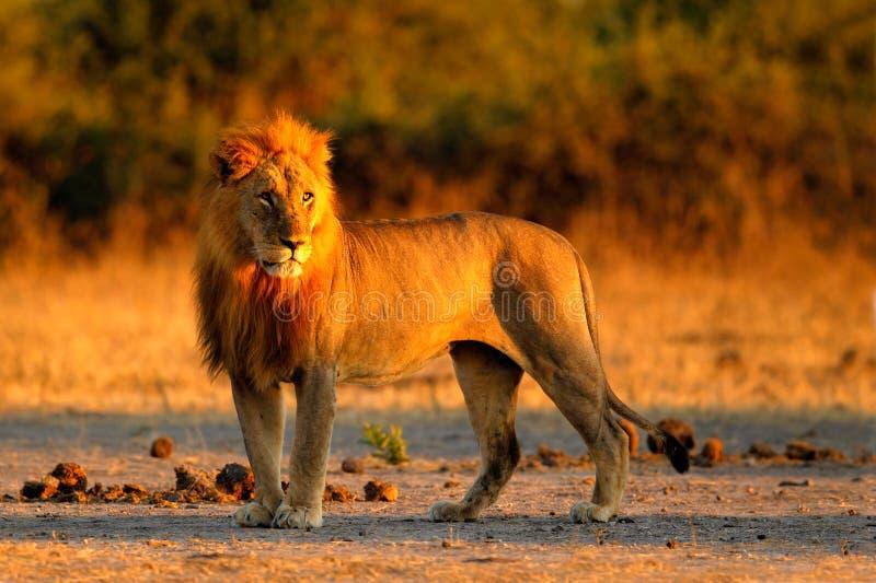 Leão africano, Panthera leo, retrato do detalhe de animal grande, nivelando o sol, parque nacional de Chobe, Botswana, África do  imagem de stock