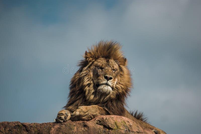 Leão africano que descansa em uma rocha grande fotografia de stock