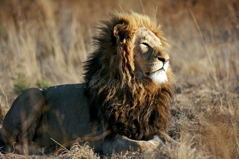 Leão africano selvagem imagem de stock
