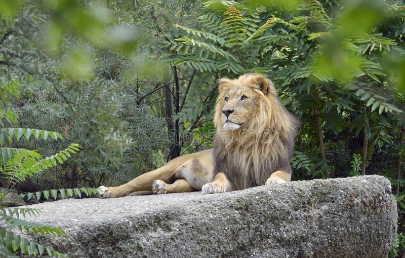 Leão africano selvagem foto de stock royalty free
