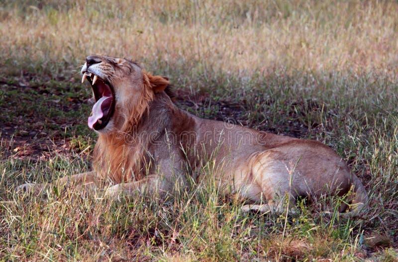 Leão asiático de bocejo que mostra colmilhos foto de stock royalty free