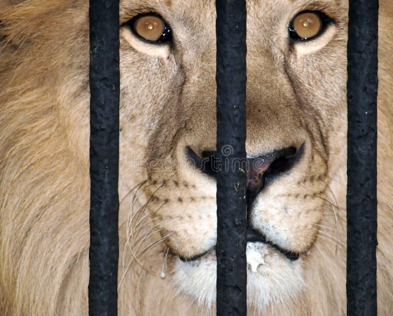 Leão atrás das barras fotografia de stock royalty free