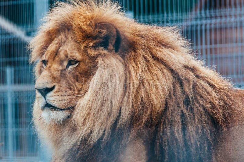 Leão bonito em uma gaiola foto de stock
