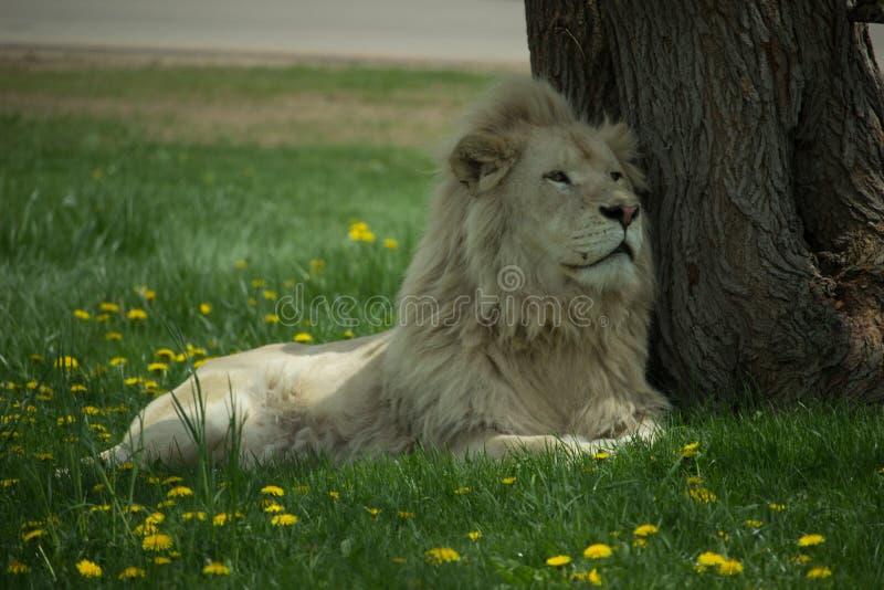 Leão branco imagens de stock royalty free