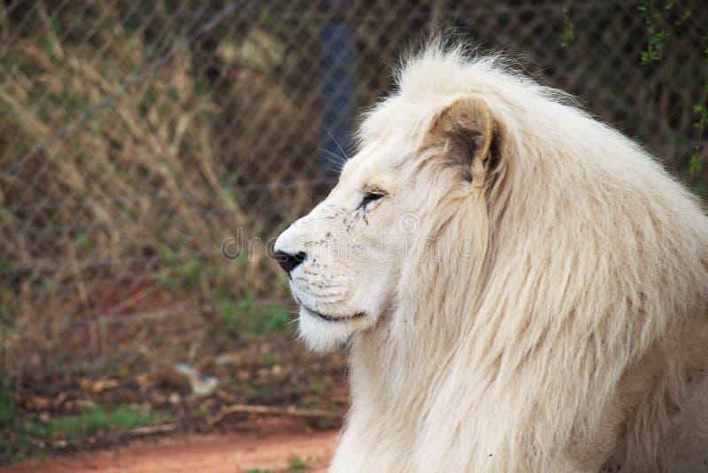 Leão branco mais velho fotografia de stock