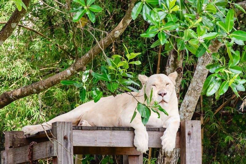 Leão branco na natureza foto de stock