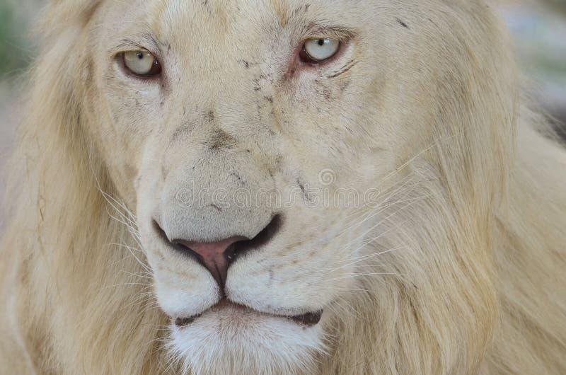 Leão branco novo, perdido nos pensamentos imagens de stock royalty free