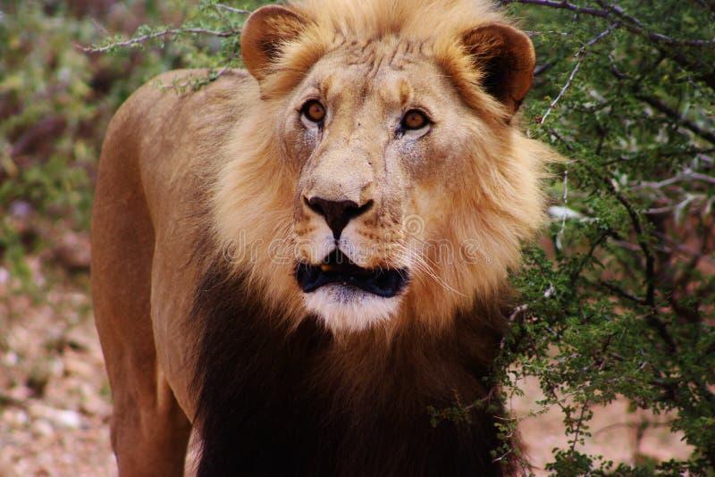 Leão capturado em Namíbia fotografia de stock royalty free