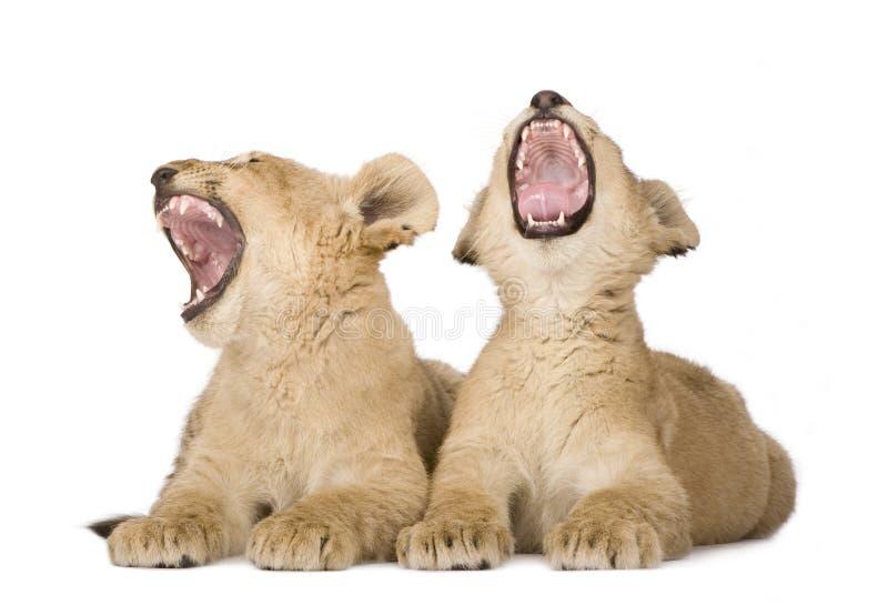 Leão Cub (4 meses) fotografia de stock royalty free