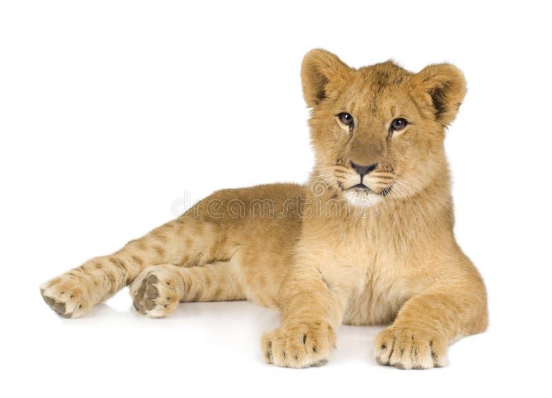 Leão Cub (6 meses) foto de stock