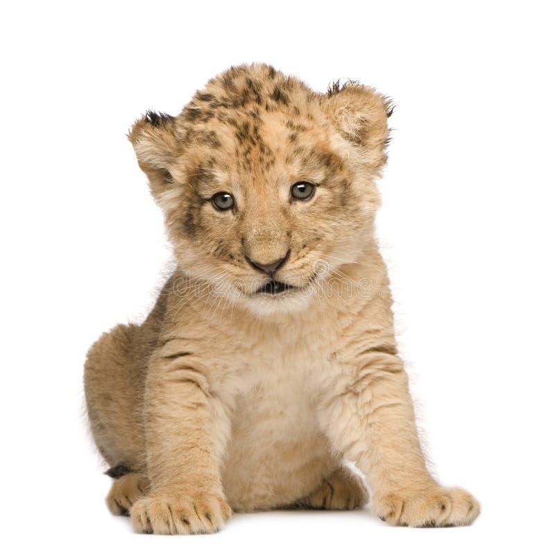 Leão Cub (6 semanas) imagem de stock royalty free