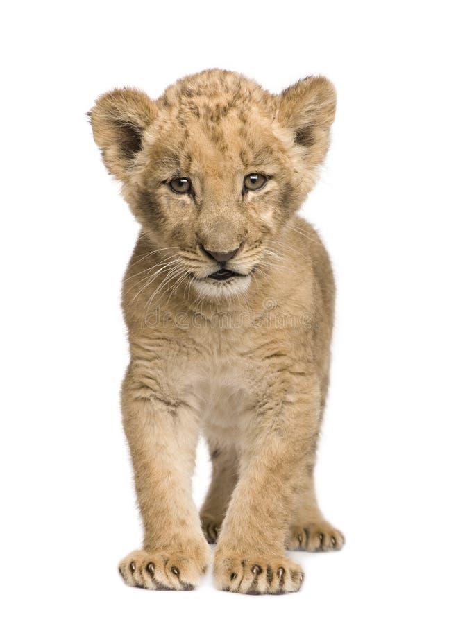 Leão Cub (8 semanas) foto de stock