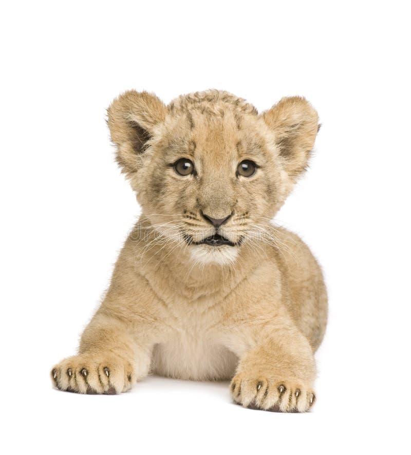 Leão Cub (8 semanas) imagens de stock