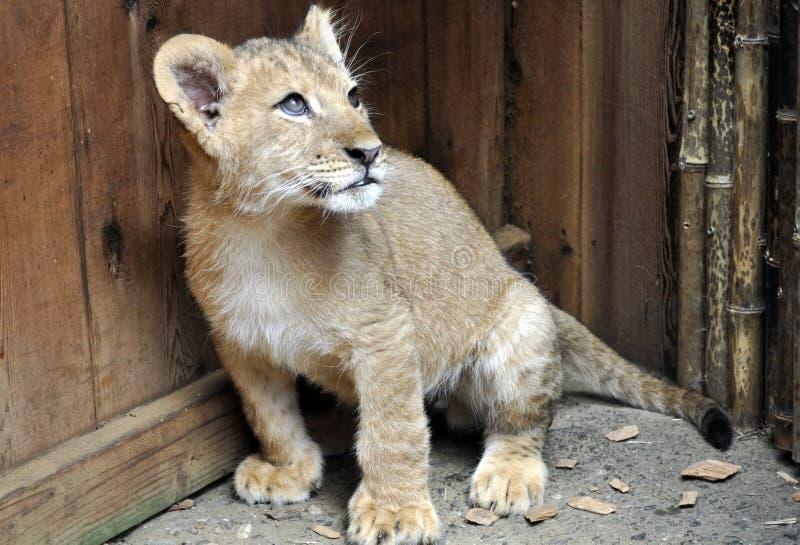 Leão Cub do bebê foto de stock