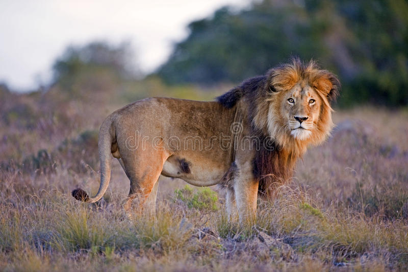 Leão da noite imagens de stock