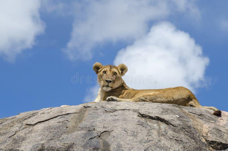 Leão da rocha fotos de stock
