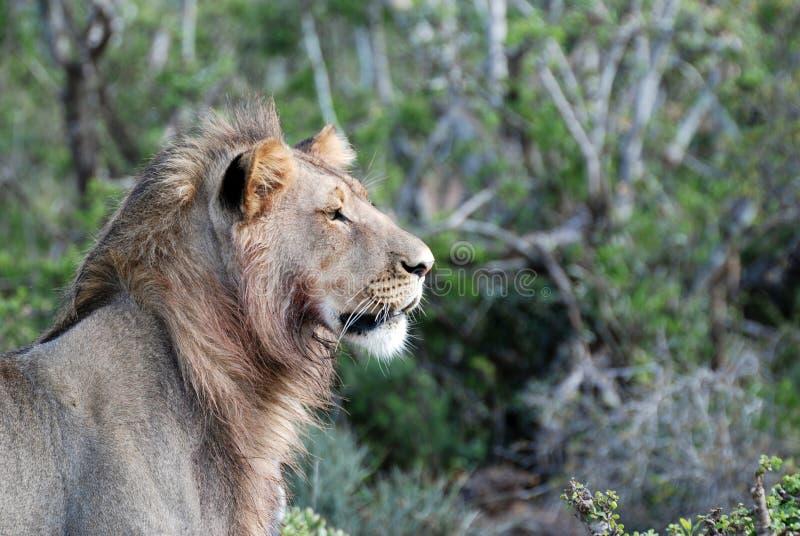 Leão de Addo fotografia de stock