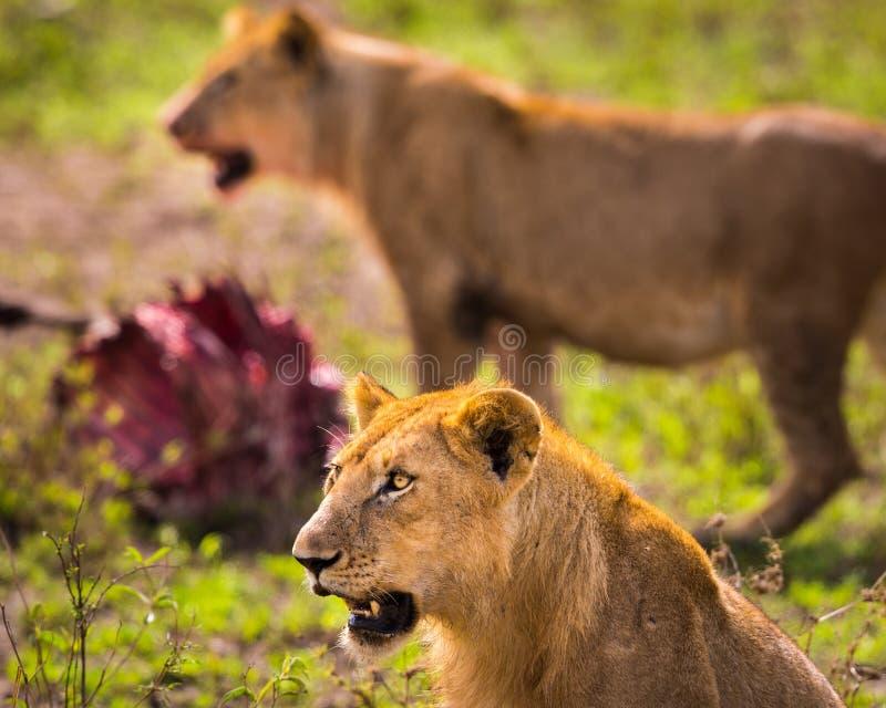 Leão de alimentação imagens de stock