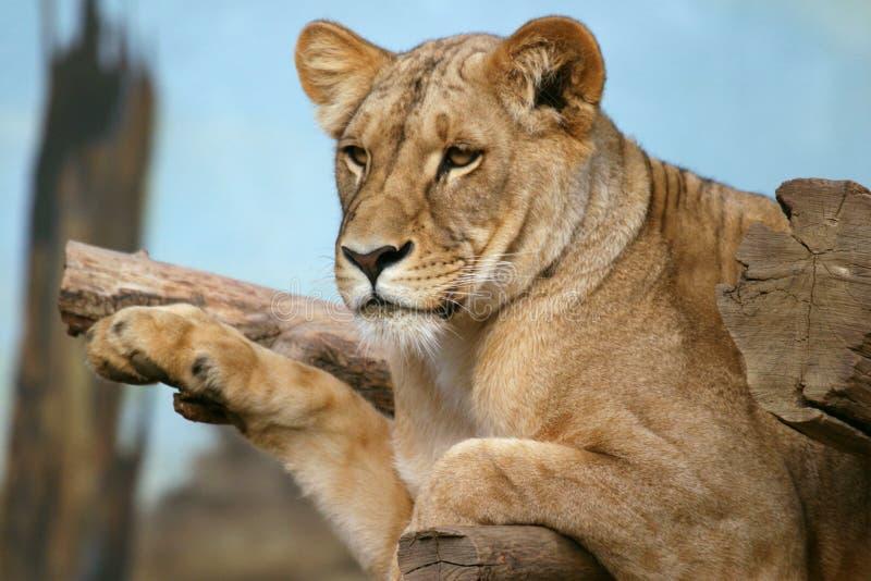 Leão de Angola, leoa fotos de stock royalty free