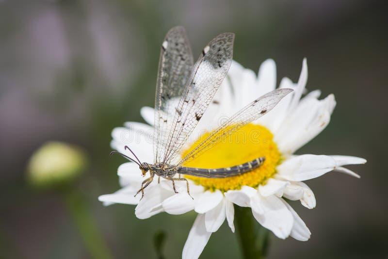 Leão de formiga do Myrmeleontidae que descansa nas flores fotos de stock royalty free