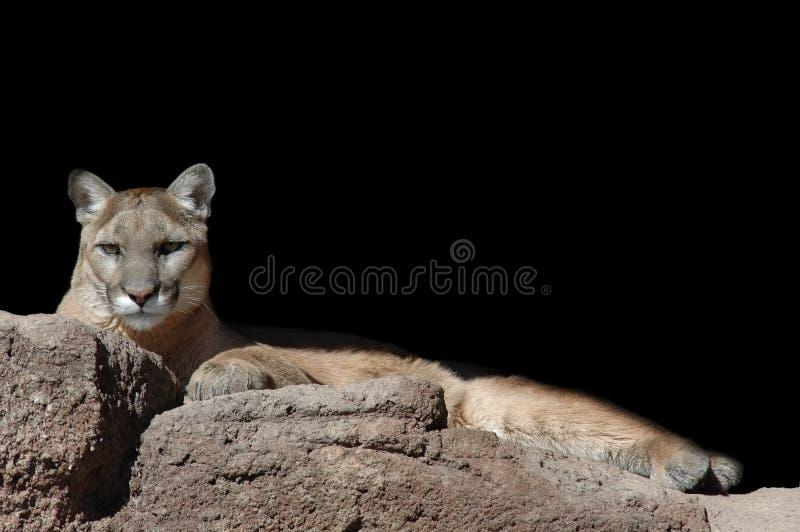 Leão de Lounging fotos de stock royalty free
