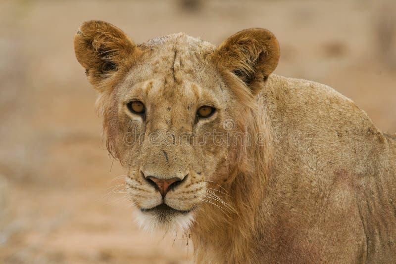 Leão de Maneless imagem de stock