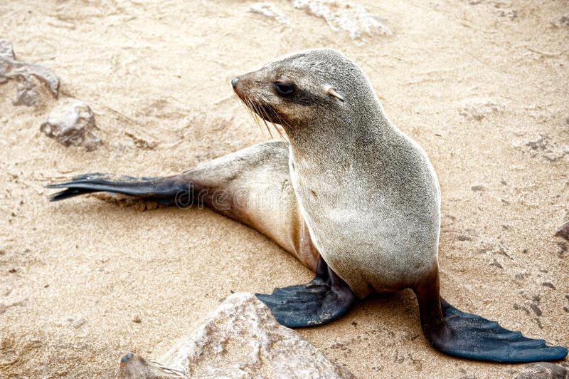Leão de mar à cruz do cabo, Namíbia, África imagem de stock royalty free
