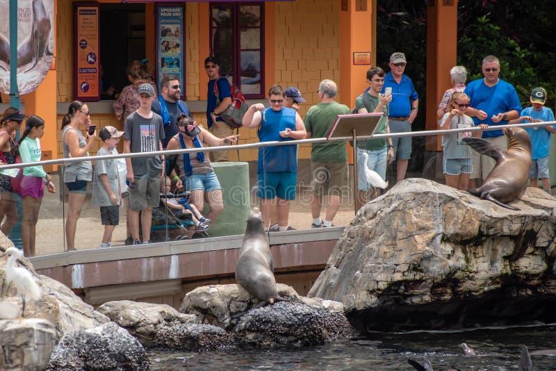 Leão de mar de alimentação do menino na conserva pacífica do ponto em Seaworld 132 fotos de stock