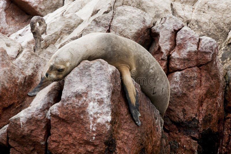 - Leão de mar americano - ilha sul de Ballestas fotografia de stock royalty free